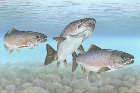 Fall Fishing Tip: The Landlocked Salmon
