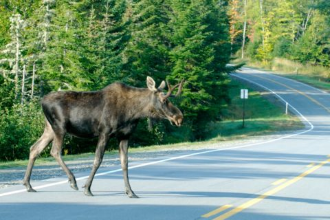 Up North in New Hampshire's Moose Alley